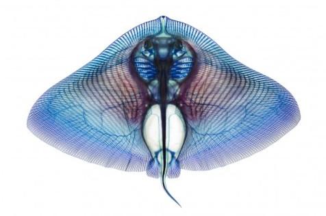 Rajada (Gymnura crebripunctata). A. Summers