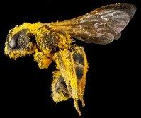 Halictus ligatus. S. Droege, USGS.