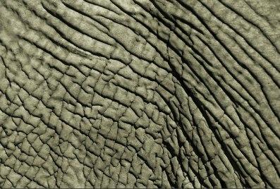 Pell d'elefant africà. Foto B. Model.