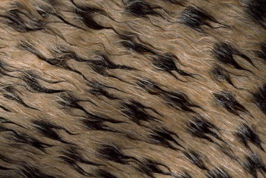 Pell del guepard. Foto C. Johns.