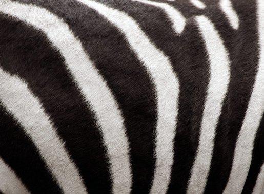 Ratlles de zebra. Foto T. Laman.